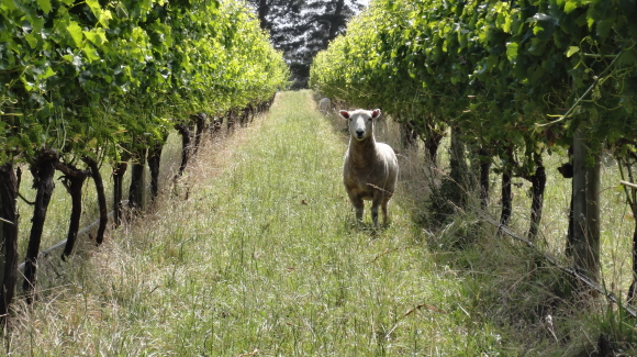 Sheep pruning vines at Stonecrop vineyard