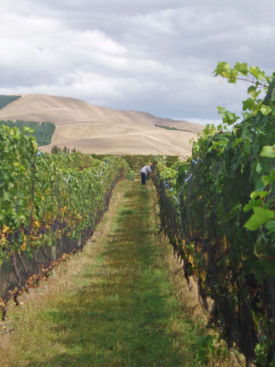 Andy Harris in the pinot rows checking brix levels