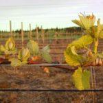 Pinot noir vines 2009