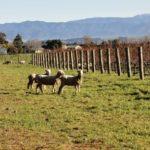 Sheep grazing at Stonecrop