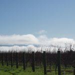 Stonecrop Winter vines